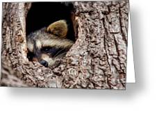Raccoon In Tree Greeting Card