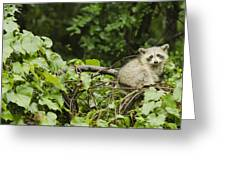 Raccoon Out On A Limb Greeting Card