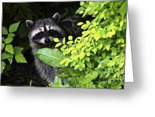 Raccoon Peek-a-boo Greeting Card