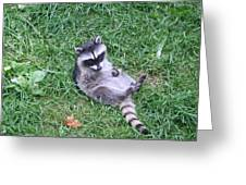 Raccoon Plays In The Grass Greeting Card