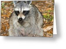 Raccoon Procyon Lotor Adult Foraging Greeting Card