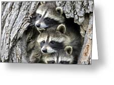 Raccoon Trio At Den Minnesota Greeting Card by Jurgen and Christine Sohns