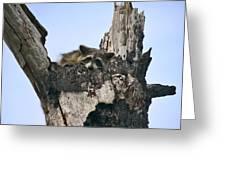 Raccoon Waiting. Lake Marion Creek W.m.a. Greeting Card