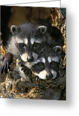 Raccoon Young Procyon Lotor In Tree Greeting Card