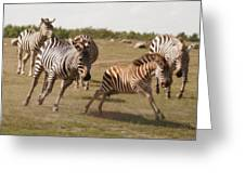 Racing Zebras 1 In Color Greeting Card