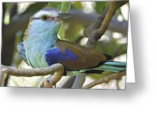 Racket Tailed Roller Greeting Card