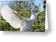 Radiant Great Egret Greeting Card