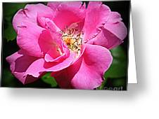 Radiant In Pink - Rose Greeting Card