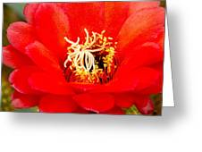 Radiant Red Cactus Flower Greeting Card