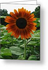 Radiant Sunflower  Greeting Card