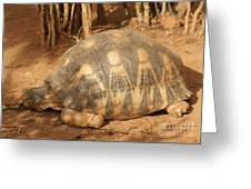 radiated tortoise from Madagascar Greeting Card