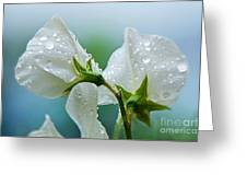 Rain On Sweet Peas Greeting Card