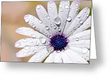 Rain Soaked Daisy Greeting Card