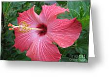 Rain Soaked Hibiscus Greeting Card