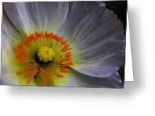 Rain Sprinkled White Poppy Greeting Card