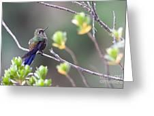 Rainbow-bearded Thornbill Greeting Card