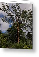 Rainbow Eucalyptus - Tall Proud And Beautiful Greeting Card
