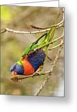Rainbow Lorikeet 02 Greeting Card