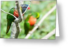 Rainbow Lorikeet Parrot Trichoglossus Haematodus Greeting Card