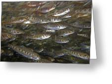 Rainbow Trout Fry Greeting Card
