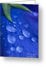 Raindrop Pansy Greeting Card by Anne Gilbert