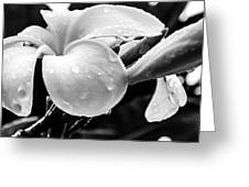 Raindrops On Plumeria Greeting Card