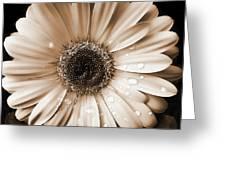 Raindrops On Gerber Daisy Sepia Greeting Card
