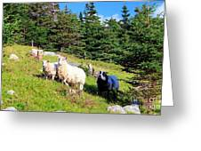 Ram And Ewes Greeting Card