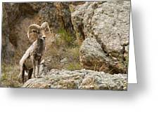 Ram Lookout Greeting Card by Rebecca Adams