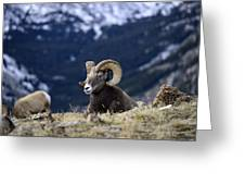 Ram Resting Greeting Card