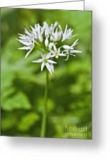 Ramsons Wild Garlic Allium Ursinum Greeting Card