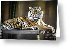 Ranu The Sumatran Tiger Greeting Card by Shannon Rogers