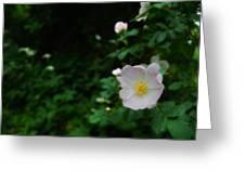 Ranunculus Greeting Card