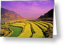 Rapeseed Terraces Greeting Card