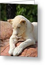 Rare Female White Lion Greeting Card
