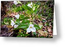 Rare Great White Trilliums Greeting Card