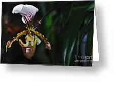 Rare Orchid - Paphiopedilum Gratrixianum Greeting Card