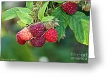 Rasberries Greeting Card