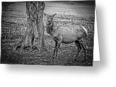 Raspberry Elk Black And White Greeting Card