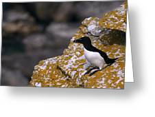 Razorbill Bird Greeting Card
