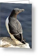 Razorbill Iceland Greeting Card by Sigurdur Aegisson