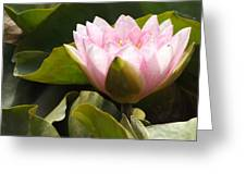 Reaching Lily Greeting Card