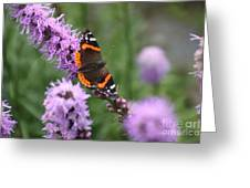 Red Admiral Butterfly On A Blazing Star Greeting Card