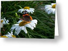 Red Admiral On A Daisy Greeting Card