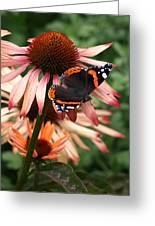 Red Admiral On Coneflower Greeting Card