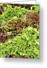 Red And Green Leaf Lettuce  Greeting Card