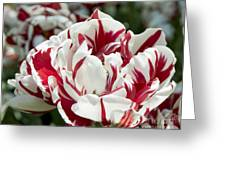 Red And White 6393 Greeting Card