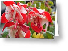 Red And White Delight Greeting Card