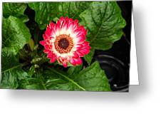 Red And White Gerber Daisy Greeting Card