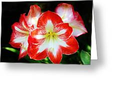 Red And White Amaryllis Greeting Card
